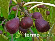 Termoverde vendita online albero fico bifera nero vaso for Albero fico prezzo