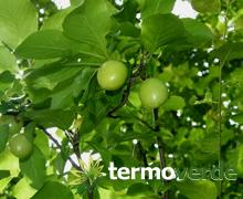 Termoverde albero susino cerasifera for Kiwi giallo piante acquisto