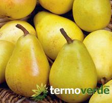 Termoverde vendita online albero pero coscia vaso for Kiwi giallo piante acquisto