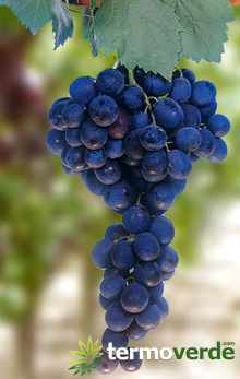 Termoverde vendita online pianta vite uva da tavola leopoldo - Piante uva da tavola ...