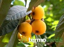 Termoverde vendita online albero nespolo del giappone vaso for Kiwi giallo piante acquisto