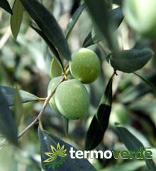 Termoverde le migliori piante dal vivaio online shop for Acquisto piante olivo