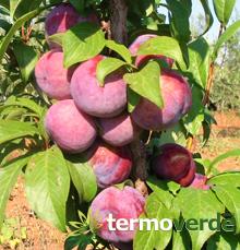 Termoverde vendita online albero susino santa rosa for Kiwi giallo piante acquisto