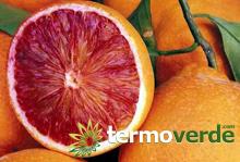 Termoverde vendita online arancio tarocco 2062 alberi for Kiwi giallo piante acquisto