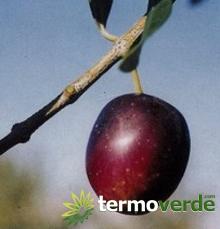 Termoverde vendita online albero ulivo uova di piccione for Acquisto piante ulivo