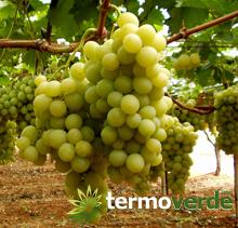 Termoverde vendita online pianta vite uva da tavola italia - Uva da tavola italia ...